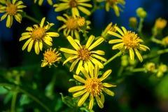 La foto de flores amarillas acerca al lago azul Imagen de archivo libre de regalías