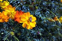 La foto de una abeja hermosa y las flores amarillean Fotografía de archivo