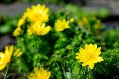 La foto del amarillo hermoso Adonis Vernalis floreciente florece con Imagen de archivo