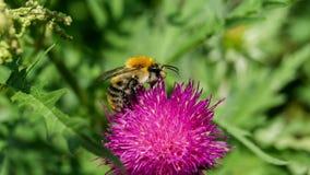 La foto del primer de la abeja de la miel recoge el néctar en una flor del Carduus Fotos de archivo libres de regalías