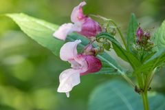 La foto del primo piano dei fiori rosa su verde ha offuscato il fondo fotografia stock libera da diritti