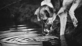La foto del whtie e nera delle bevande di un cane innaffia dalla pozza fotografia stock libera da diritti