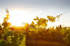 La foto dell'uva lascia a fondo il raggio di sole giallo caldo Immagini Stock