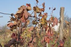 La foto dell'uva lascia il fondo, autunno dopo la stagione del raccolto valle della vigna, coltivante natura, fogliame di caduta, Fotografia Stock