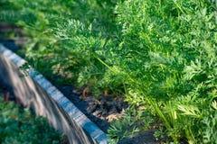 La foto della carota succosa lascia la crescita nel giardino Primo piano Immagini Stock