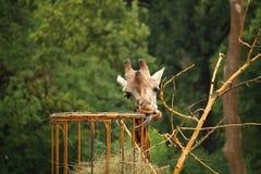 La foto della giraffa di Rothschild che mangia la paglia con attacca fuori la lingua Fotografie Stock