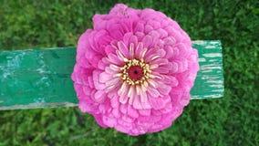 La foto della zinnia rosa di un Terry fiorisce immagine stock libera da diritti