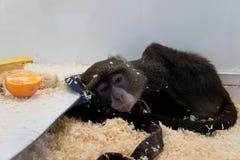 Scimmia triste Fotografie Stock