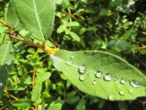 La foto hermosa con descensos riega en leafes verdes Lila foto de archivo libre de regalías