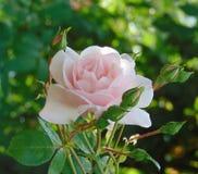 La foto macra con el fondo del jardín decorativo florece rosas imágenes de archivo libres de regalías