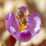 La foto macra de la abeja poliniza el azafrán Foto de archivo