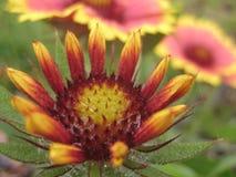 La foto macra de las flores del otoño moteó con las gotitas de la lluvia Foto de archivo libre de regalías