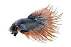 La foto macra de los pescados que luchan siameses corona las colas que luchan los fishs, splendens del betta aislados en el fondo Imagenes de archivo