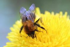La foto macra de un diente de león florece y manosea la abeja Imágenes de archivo libres de regalías