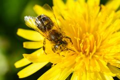 La foto macra de una abeja recoge el néctar de una flor amarilla Fotos de archivo
