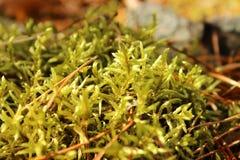 La foto macra del musgo del bosque Imagen de archivo libre de regalías