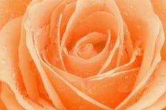 La foto a macroistruzione di è aumentato con le gocce scintillanti Fotografia Stock