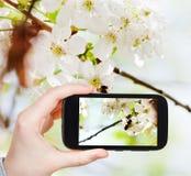 La foto que toma turística de la abeja en cereza florece Imagen de archivo