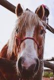 La foto representa el caballo marrón y blanco precioso hermoso que mira en a imagenes de archivo