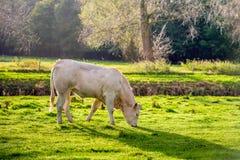 La foto retroilluminata di giovane beige ha colorato la mucca che pasce nel gr bagnato immagini stock libere da diritti
