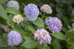 La foto simple de la aún-vida del marcrophlylla florece en los BU verdes Fotografía de archivo