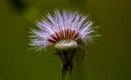 La fotografía macra de las semillas de un asteraceae dirige foto de archivo libre de regalías