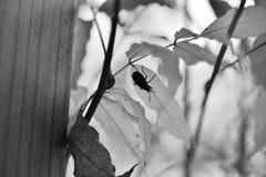 La fotografia in bianco e nero con una semi-fine-su di un insetto ha posto sopra foglio Fotografie Stock Libere da Diritti