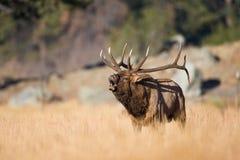 La fotografia stupefacente del paesaggio va alci del toro in carreggiata fotografie stock libere da diritti