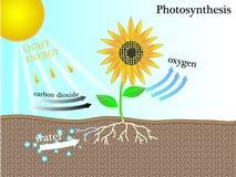 La fotosintesi Fotografie Stock