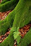 La fougère sur la mousse a couvert des racines d'arbre Images libres de droits