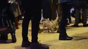La foule des personnes ayant l'amusement aux propriétaires de chien font la fête avec des roquets dans des costumes adorables banque de vidéos