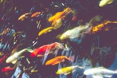 La foule des poissons de Koi dans l'étang, fond naturel coloré, Koi est sym Image libre de droits