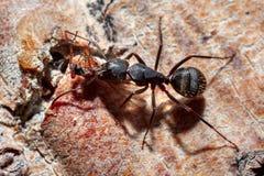 La fourmi est en gros plan photo libre de droits