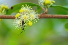 La fourmi noire sur le jaune fleurit la tache floue de fond Photos libres de droits