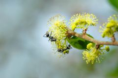 La fourmi noire sur le jaune fleurit la tache floue de fond Photo stock