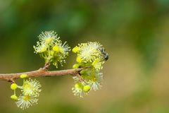 La fourmi noire sur le jaune fleurit la tache floue de fond photographie stock libre de droits