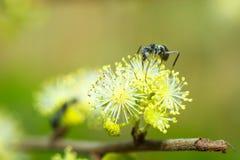 La fourmi noire sur le jaune fleurit la tache floue de fond image stock