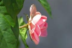 La fourmi rampe le long de la feuille d'une belle rose de rose Photographie stock