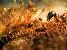 La fourmi rouge et noire combattait sur les feuilles, fourmi Image libre de droits