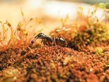 La fourmi rouge et noire combattait sur les feuilles, fourmi Image stock