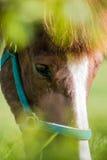 La fourrure brune et blanche de portrait de cheval observe avec le premier plan vert Photographie stock libre de droits
