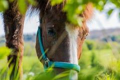 La fourrure brune et blanche de portrait de cheval observe le premier plan vert Image libre de droits