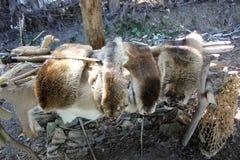 La fourrure que les natifs américains ont employée pour l'habillement a montré chez le Meadowcroft Rockshelter et village histori image libre de droits