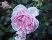 La fragancia de un rosado subió en el jardín del verano Rosas crecientes en la tierra abierta Rosas varietales fotografía de archivo libre de regalías