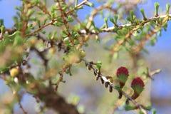 La fragancia del alerce en la primavera fotografía de archivo
