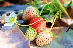 La fragola è frutta, il gusto dolce fotografia stock