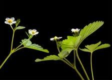 La fragola di giardino Fotografia Stock