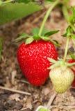 La fragola si sviluppa nel giardino Immagini Stock Libere da Diritti