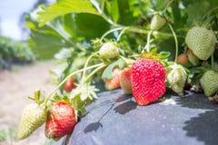 La fraise porte des fruits la branche dans la fraise de plantation Images libres de droits