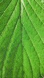 La fraise verte laisse le plan rapproch? sur un fond blanc Macro veines images stock